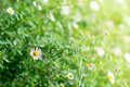 Many white daisies, several Bird`s-eye Speedwell also visible Royalty Free Stock Photo