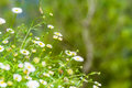 Many white daisies in top view of meadow Royalty Free Stock Photo