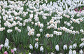 Many white flowers of beautiful daffodils in a flowerbed Royalty Free Stock Photo