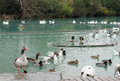 Many white geese in the water with gray feathers swim blue lake and gray goose waterfowl birds city park Stock Image