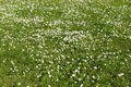 Many white small flowers in top view of meadow Royalty Free Stock Photo
