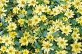 Many yellow daisies Royalty Free Stock Photo