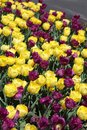 Purple and yellow tulip bed in Spring Royalty Free Stock Photo