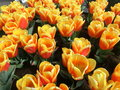 Many yellow tulip flowers horizontal red and and blue Royalty Free Stock Photos
