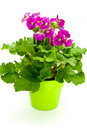 Many , young purple primroses on the flower pot Stock Photos