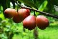 Manzana de rose en el árbol Fotos de archivo libres de regalías