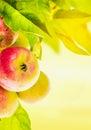 Manzanas frescas en una rama de árbol en fondo soleado Fotos de archivo