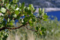 Manzanita tree beautiful green plant with leaves on the lake Stock Photo