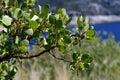 Manzanita tree beautiful green plant with leaves on the lake Stock Photo