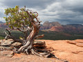 Manzanita tree a in the sedona scenic landscape as a storm approaches in the distance Royalty Free Stock Photos