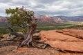 Manzanita tree in sedona a twisted a scenic landscape view of the valley arizona Stock Image