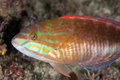 Maori wrasse portrait common australian taken in the wild Royalty Free Stock Photos
