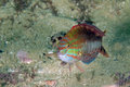 Maori wrasse portrait common australian taken in the wild Royalty Free Stock Photo