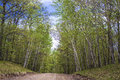 Maple and aspen road a dirt slices through a forest in mille lacs kathio state park minnesota Royalty Free Stock Images