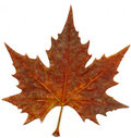Maple autumn leaf Royalty Free Stock Image