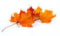 Maple autumn leaves isolated on white background Stock Image
