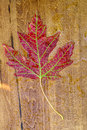 Maple autunm leave Royalty Free Stock Photo