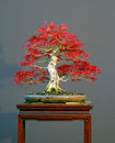Maple bonsai in spring Stock Photo