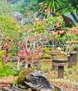 Maple bonsai tree Royalty Free Stock Photo