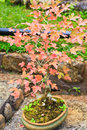 Maple bonsai tree Royalty Free Stock Photo
