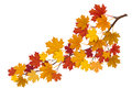 Maple branch with yellow leaves