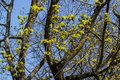 Maple flowers on still bare tree branches bloom in early spring Royalty Free Stock Photo