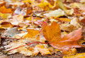 Maple foliage autumn closeup Royalty Free Stock Photos