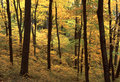 Maple Grove in Fall Royalty Free Stock Images