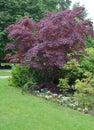 Maple Japanese (Acer japonicum Thunb. ) Royalty Free Stock Photo