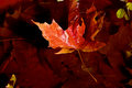 Maple leaf afloat a red and orange floats across the surface of water in the autumn sunshine Stock Images