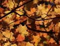 Maple Leaf Autumn Canopy Royalty Free Stock Photo