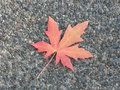 Maple leaf autumn with colors Stock Photos