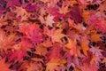 Maple Leaf In Autumn.
