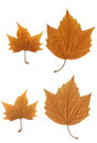 Maple leaf autumn yellow color,positive negative Royalty Free Stock Photos