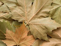 Maple leaf background Royalty Free Stock Photography