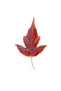 Maple leaf bright vinous closeup Royalty Free Stock Photography