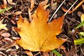 Maple leaf in Fall Stock Images