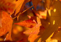 Maple leaf at first light a golden glows with early Royalty Free Stock Photos