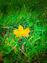 Maple leaf in grass Stock Images