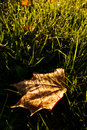 Maple leaf on grass illuminated by sunrise light Royalty Free Stock Photo