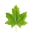 Maple leaf green isolated on white Stock Photography