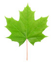 Maple leaf green isolated on white background Stock Photography