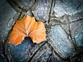 A maple leaf on the ground Stock Photo