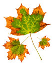 Maple leaf group Stock Photography