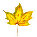 Maple leaf isolated autumn of on white Royalty Free Stock Photography