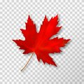 Maple leaf isolated on transparent background. Bright red autumn realistic leaf. Vector illustration eps 10 Royalty Free Stock Photo