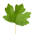 Maple Leaf Isolated On The Whi...