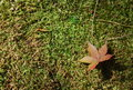 A maple leaf on the moss Royalty Free Stock Photo