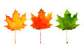 Maple leaf in red yellow green colors watercolor painting on white background Royalty Free Stock Photos