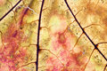 Maple leaf textured pattern macro view, vintage herbarium. Abstract background, detailed soft focus Royalty Free Stock Photo